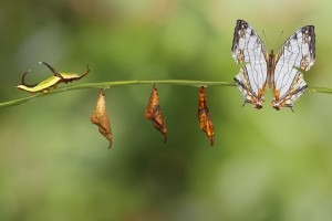 farfalle metamorfosi